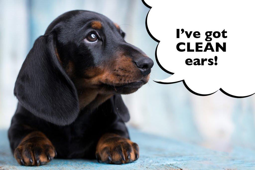 A Dachshund with clean ears