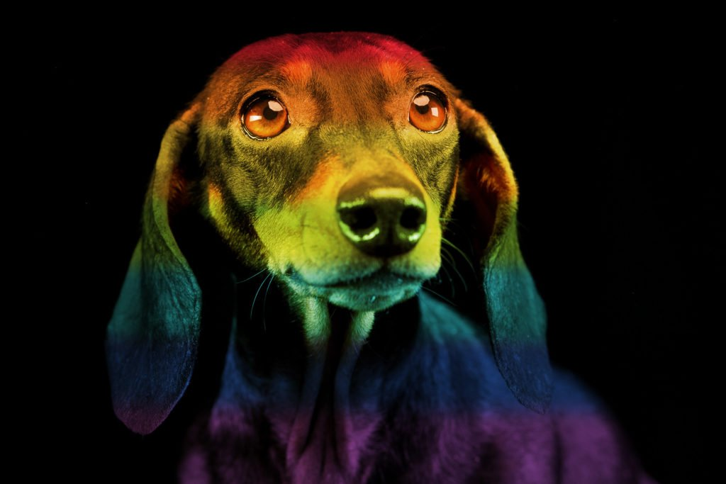 Pet portrait of a Dachshund that has passed away and crossed the rainbow bridge