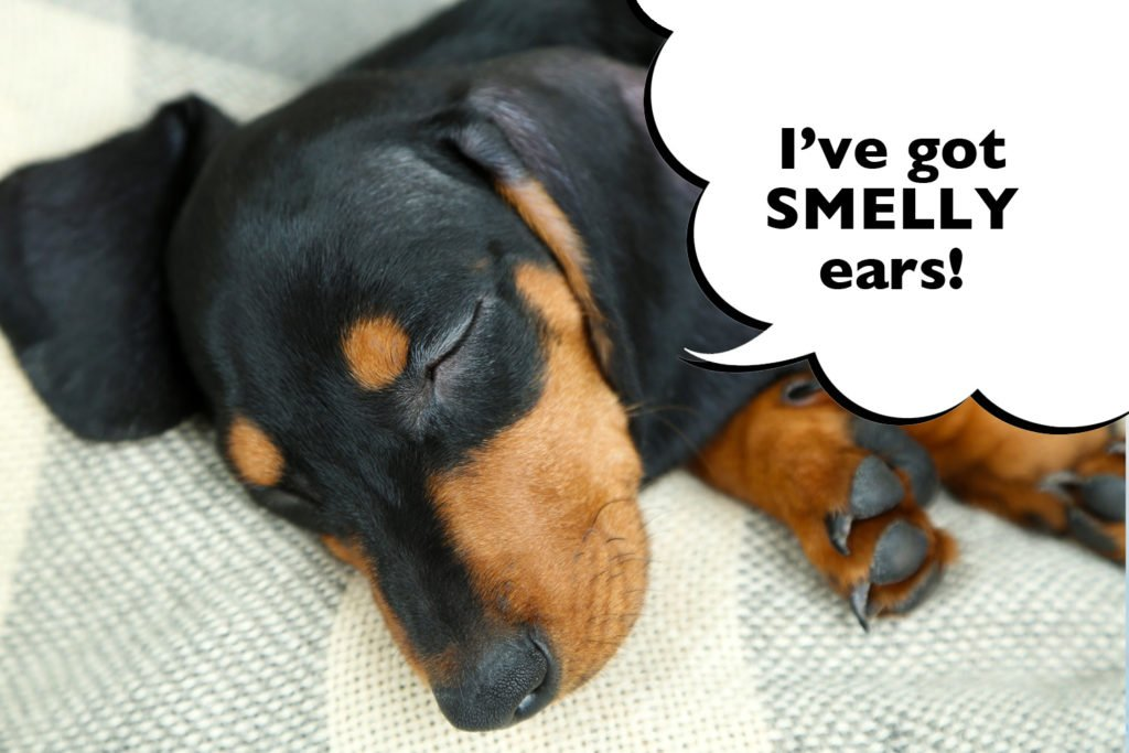 How Do You Clean A Dachshund's Ears? A Dachshund with smelly ears that need cleaning
