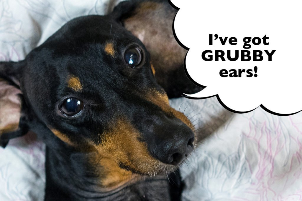 How Do You Clean A Dachshund's Ears? A Dachshund with dirty ears that need cleaning