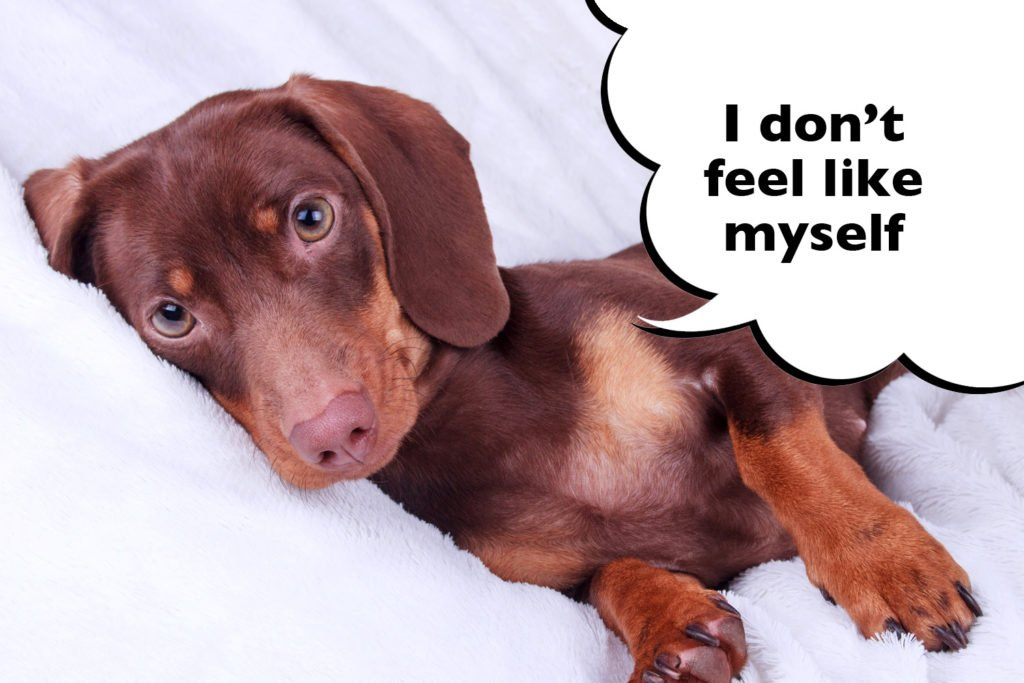 Female Dachshund experiencing symptoms of a phantom or false pregnancy