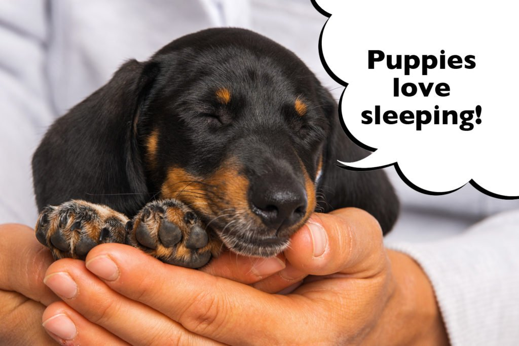 Dachshund puppy sleeping in owners arms