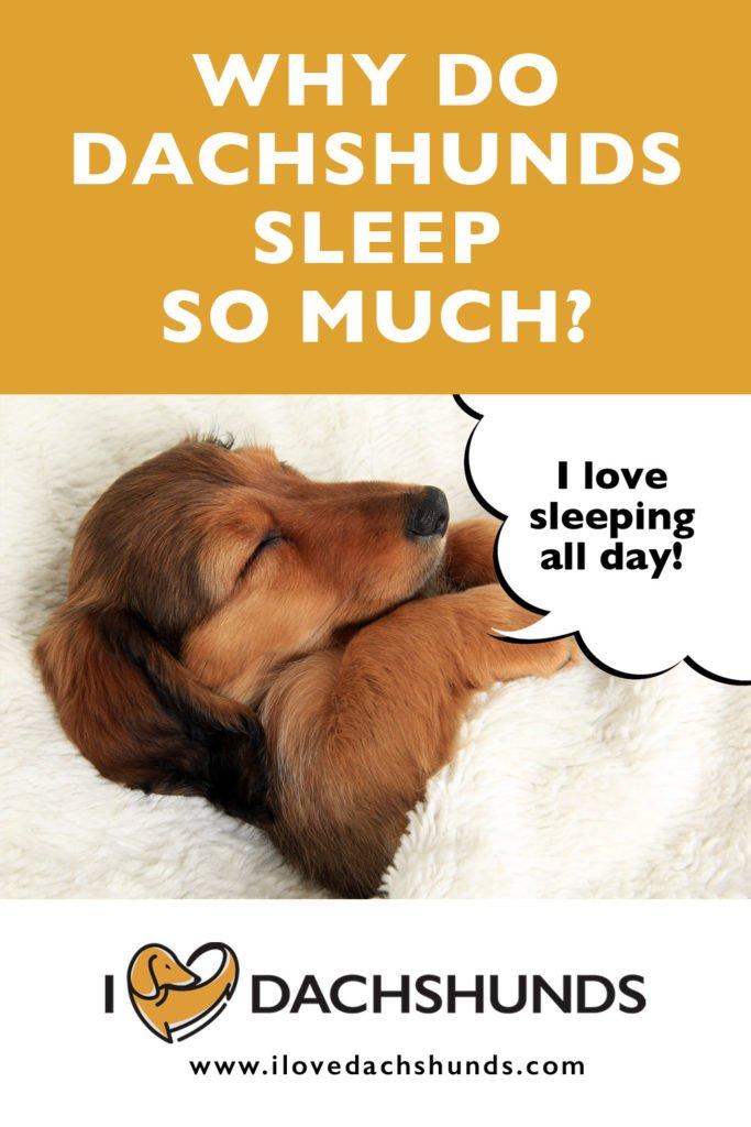 Why do Dachshunds sleep so much?