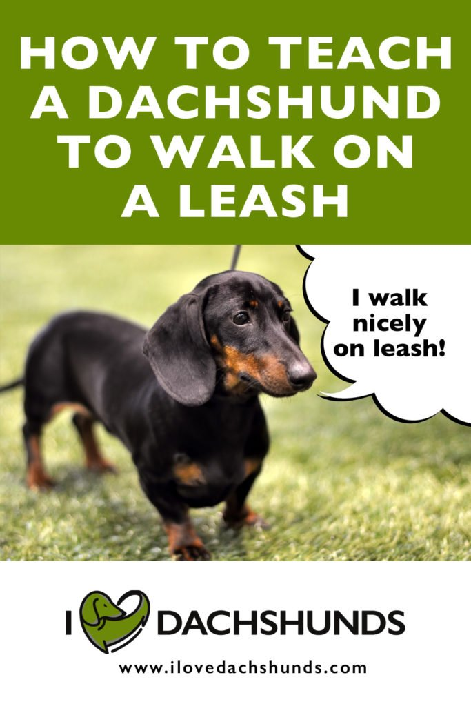 How Do You Teach a Dachshund to Walk on Leash?