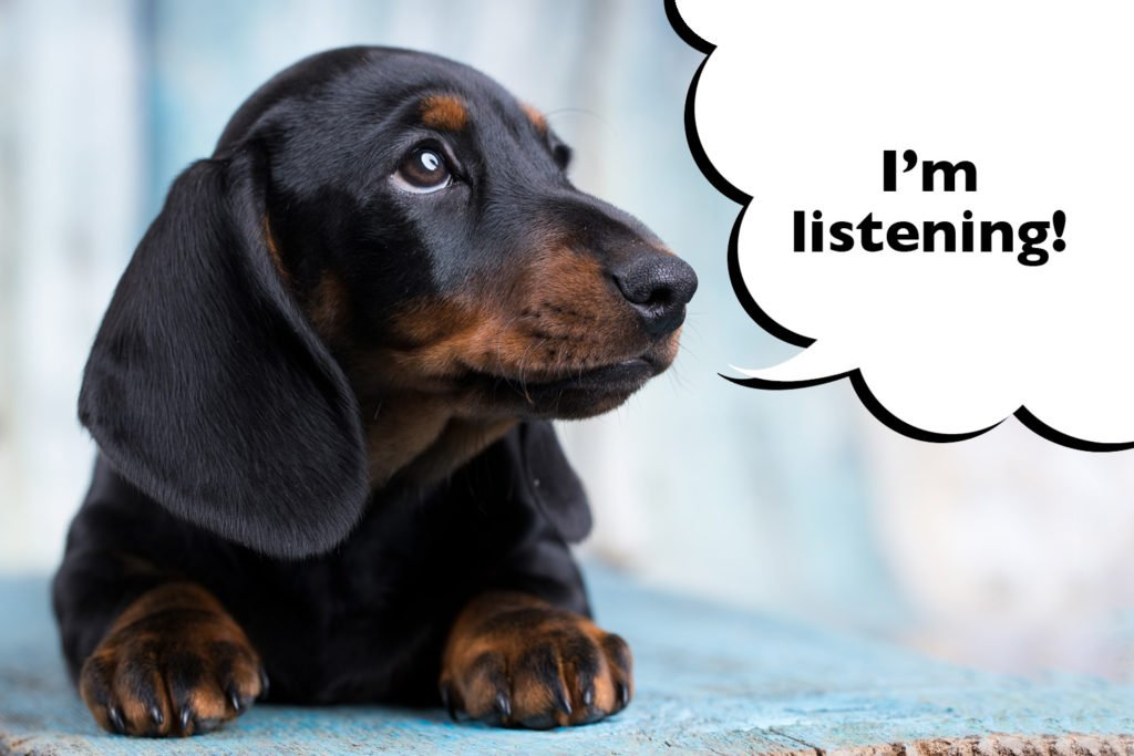 Dachshund being trained by new owner