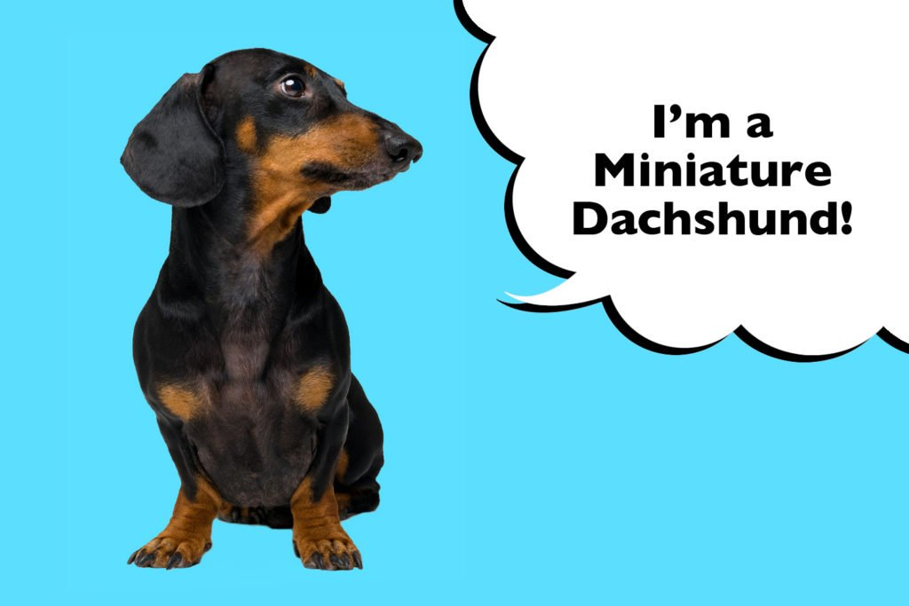 History of the miniature Dachshund breed