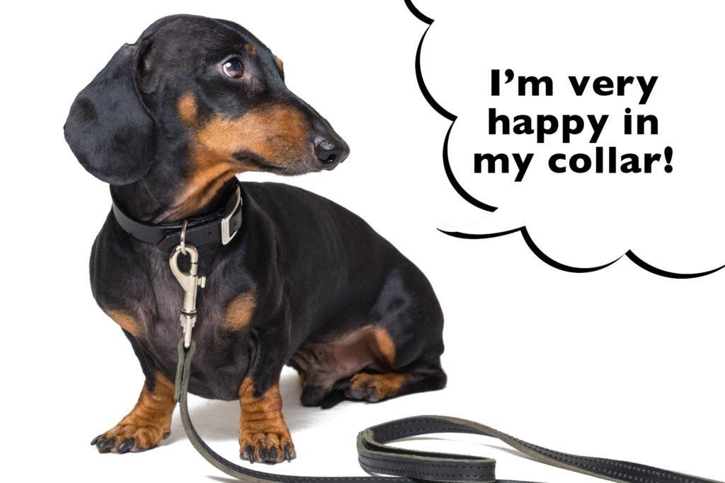 Dachshund wearing a collar and leash