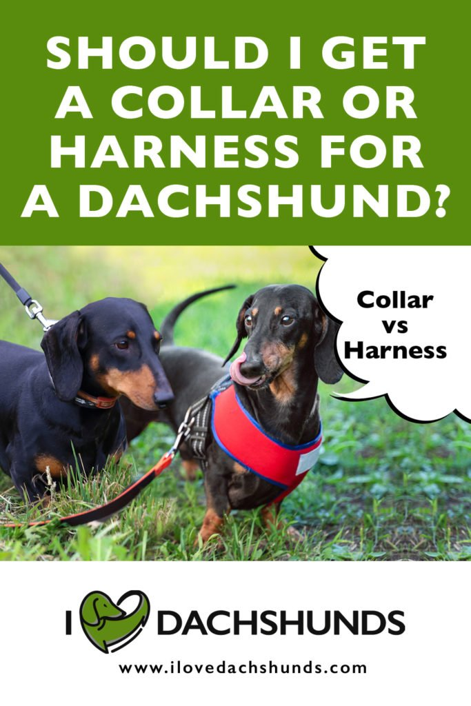 Should I get a collar or harness for my Dachshund?
