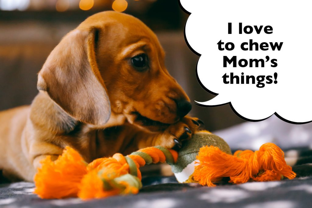 Dachshund puppy chewing things in the home