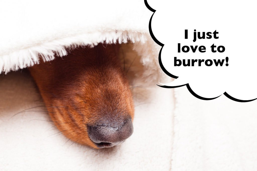 Dachshund burrowing trait originates from hunting instincts