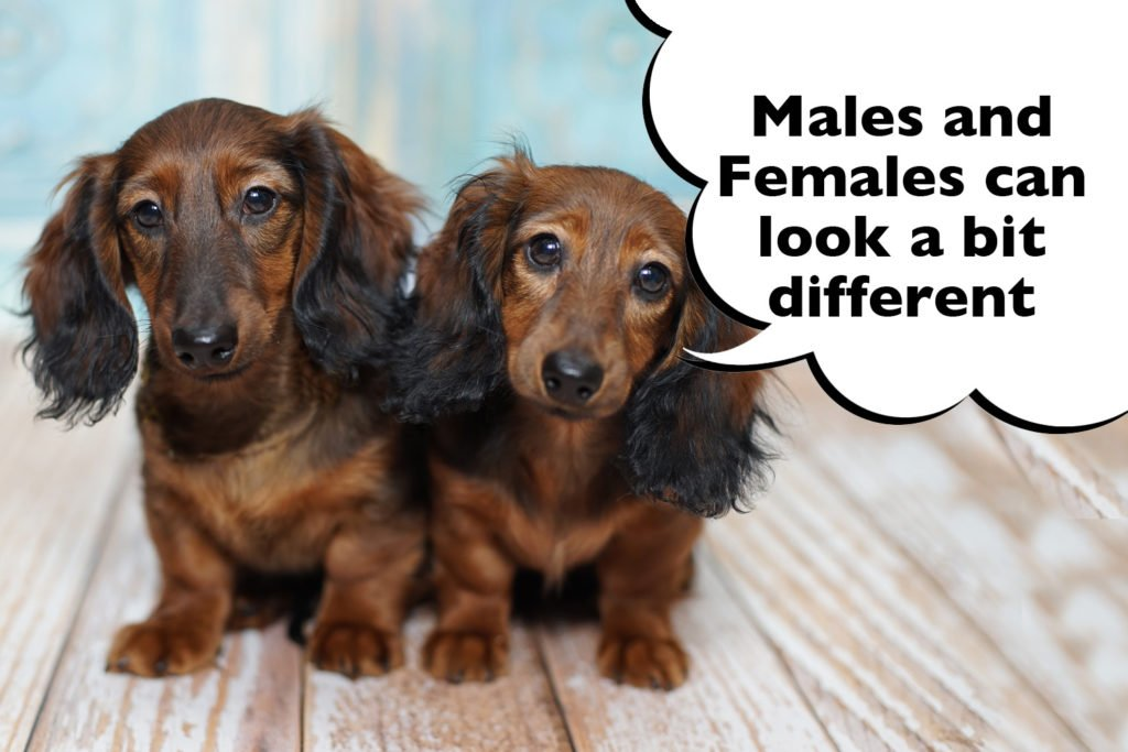 Difference in looks of male and female Dachshunds