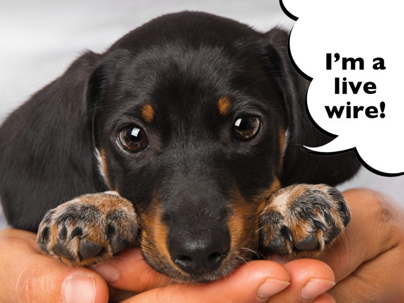 Dachshund Puppy Blues How To Cope With New Puppy Overwhelm
