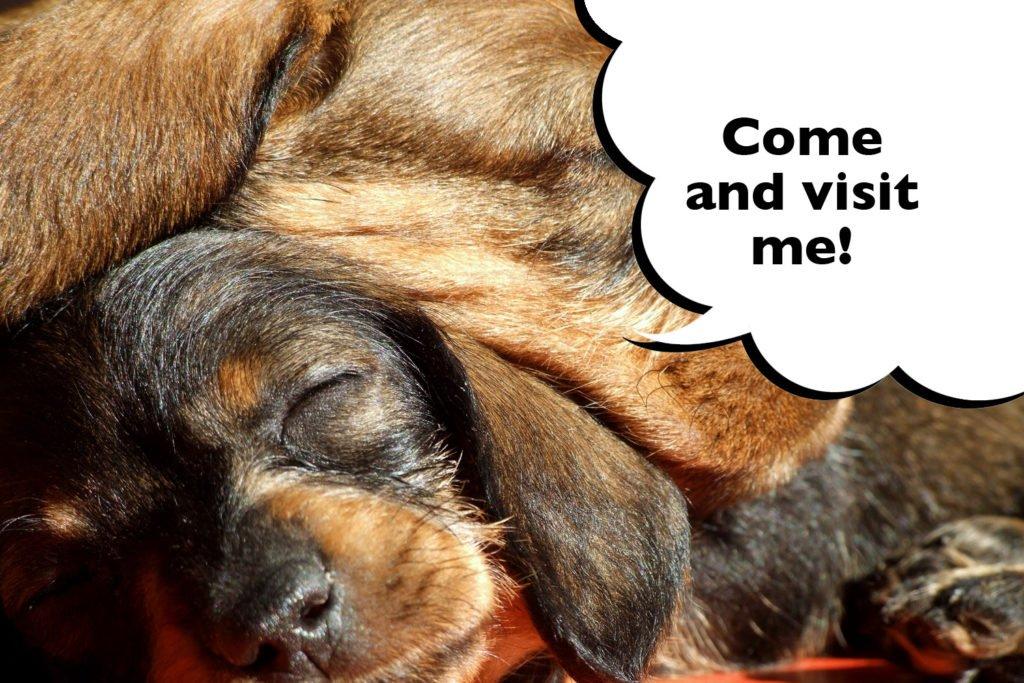 Dachshund puppies sleeping together