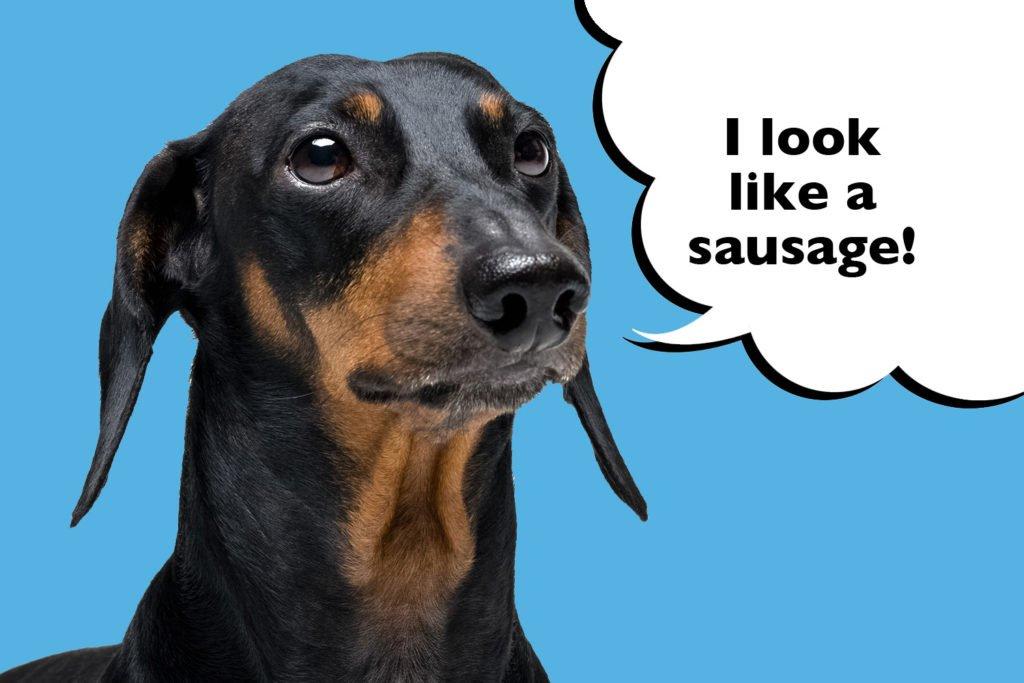 Dachshund that has the nickname sausage dog