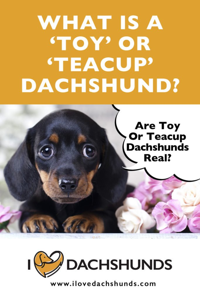 What is a toy or teacup Dachshund?