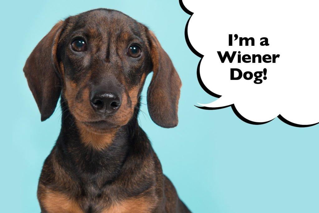 Dachshund with the nickname 'wiener dog'