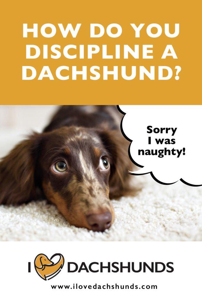 How do you discipline a Dachshund?