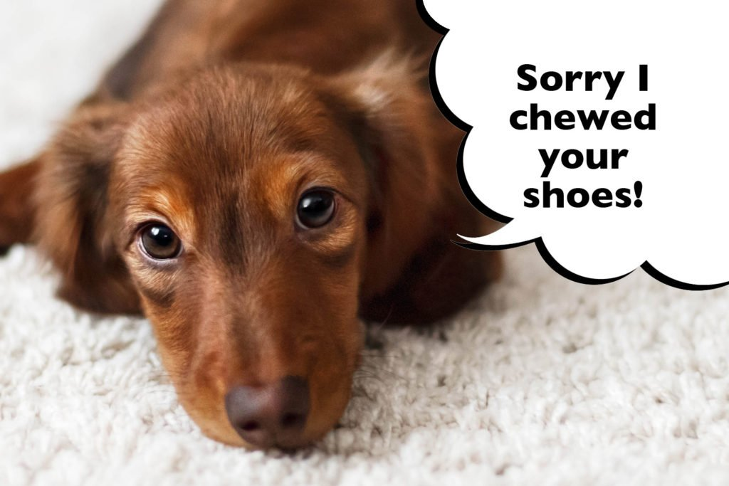 Dachshund being trained using positive reinforcement