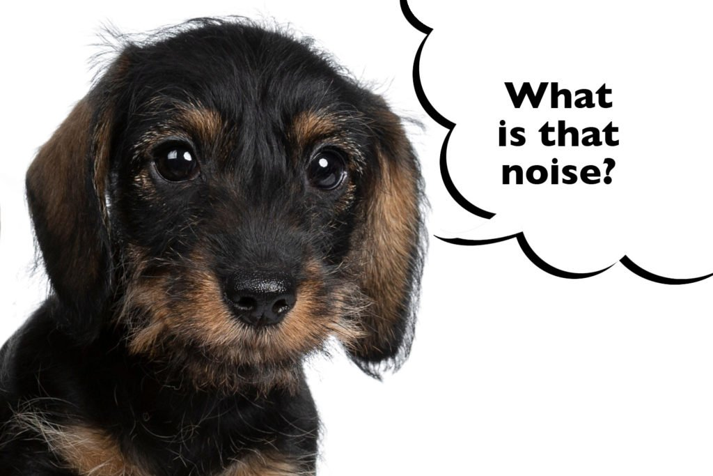 Dachshund puppy being socialised to new noises in the home