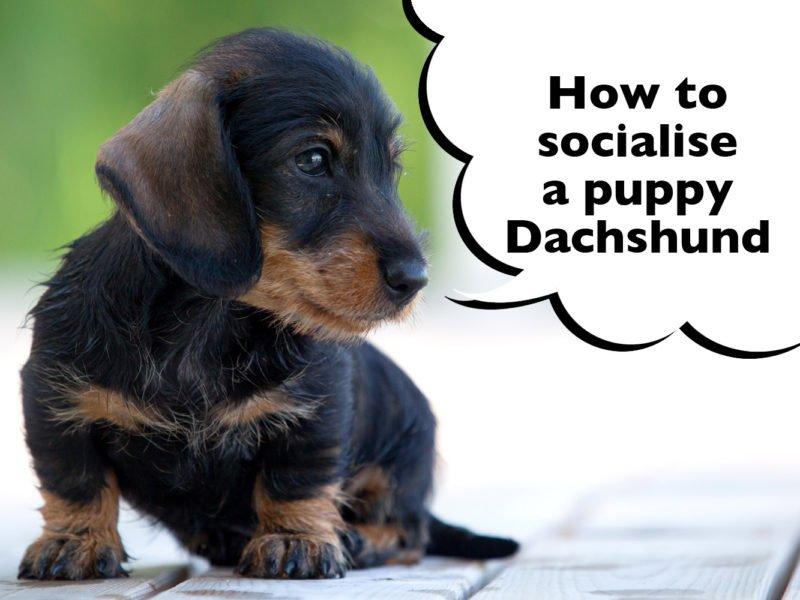 How To Socialise A Dachshund