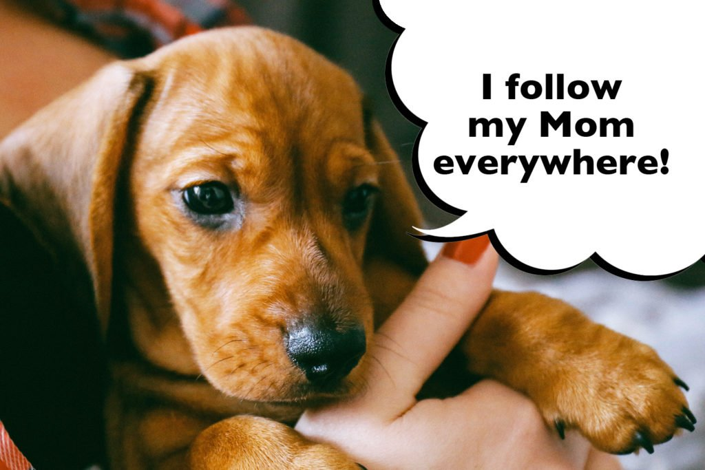 "Dachshund puppy being held and cuddled by their owner with a speech bubble that says ""I follow my Mom everywhere""."