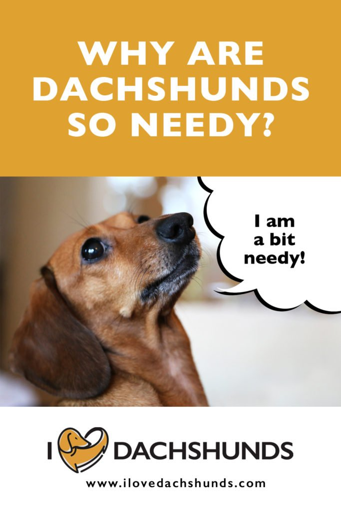 Why are Dachshunds so needy