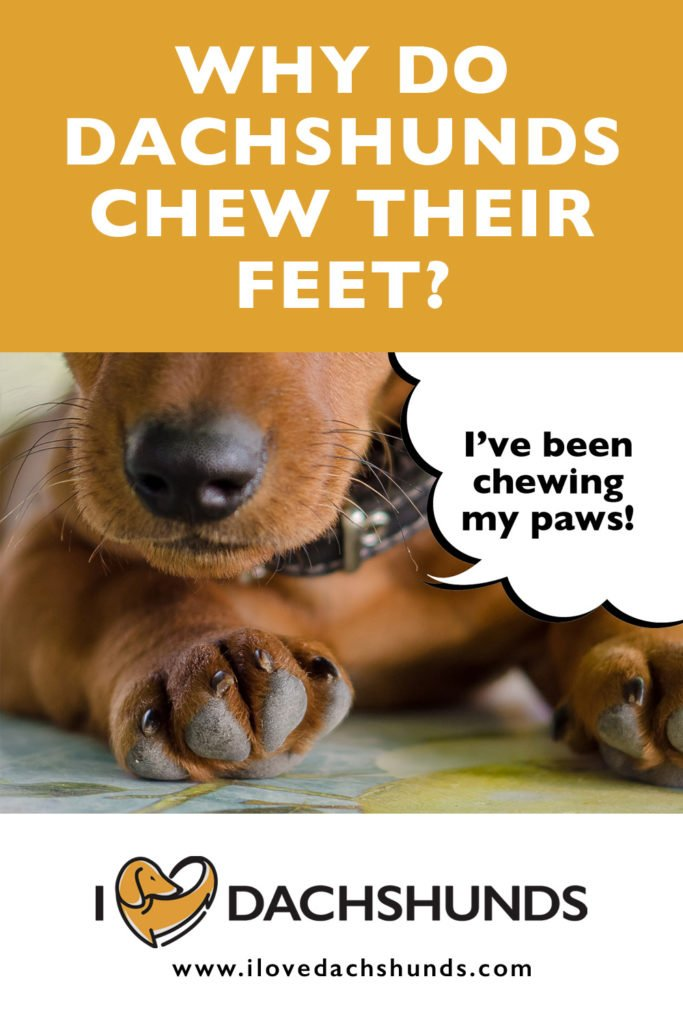Why do Dachshunds chew on their feet?