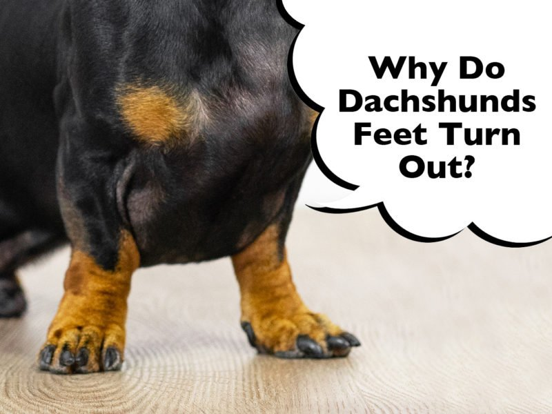 Dachshund with turned out feet