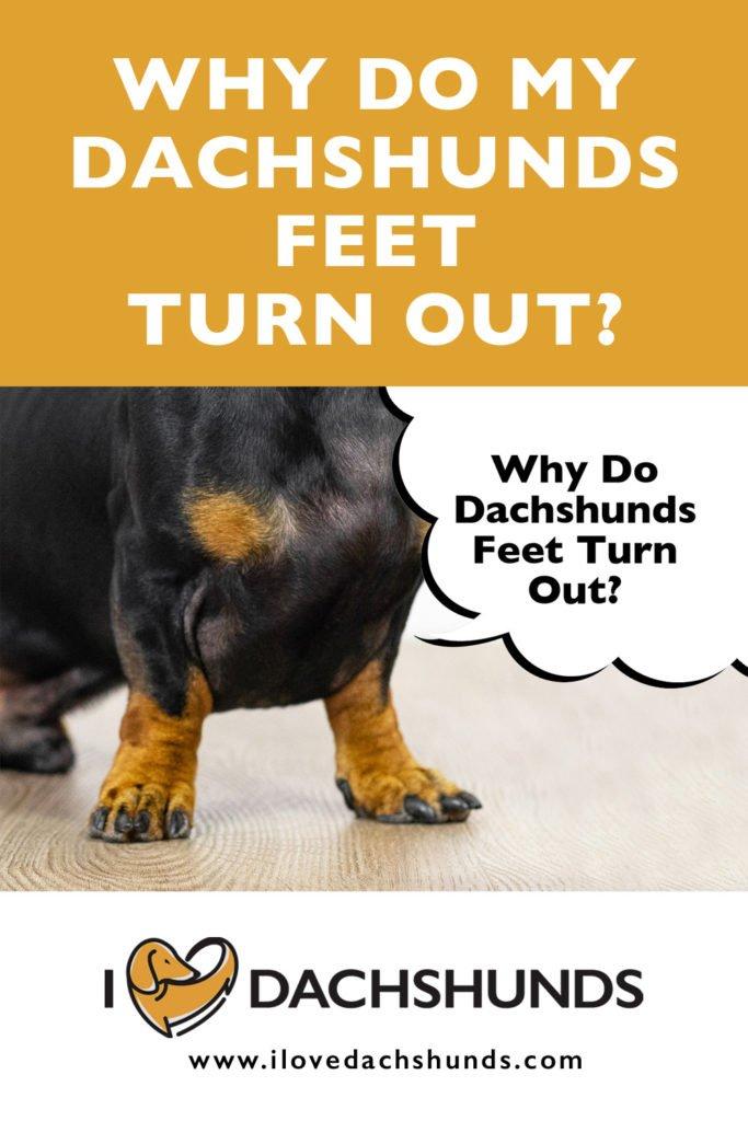 Why do my Dachshund's feet turn out