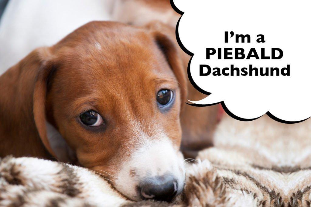 A Piebald Dachshund laying down on a warm blanket