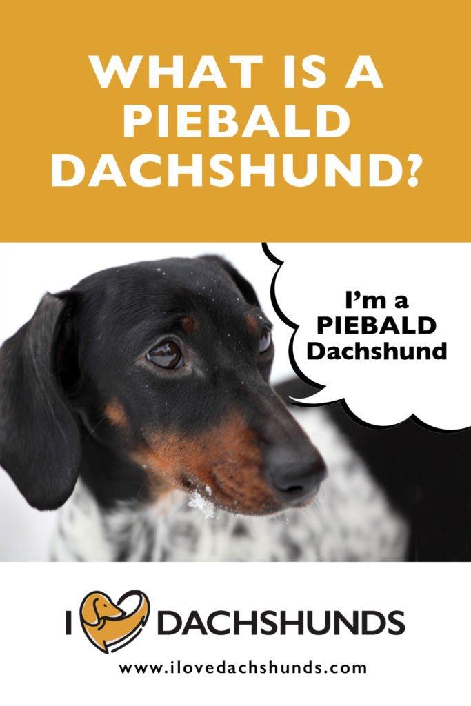 Piebald Dachshund pin for sharing on Pinterest