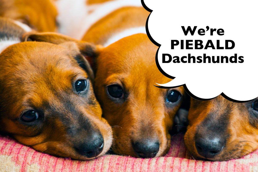 Three piebald Dachshund puppies laying down together