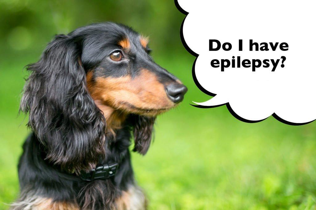 Dachshund with epilepsy
