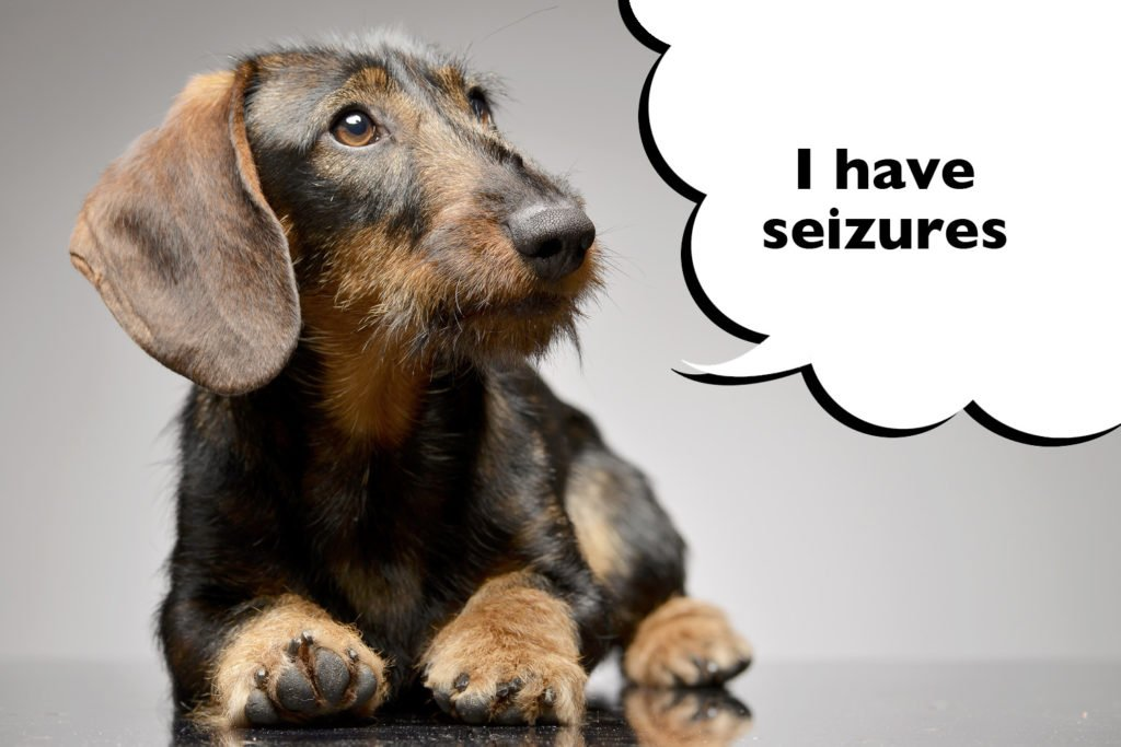 Dachshund with Lafora Disease