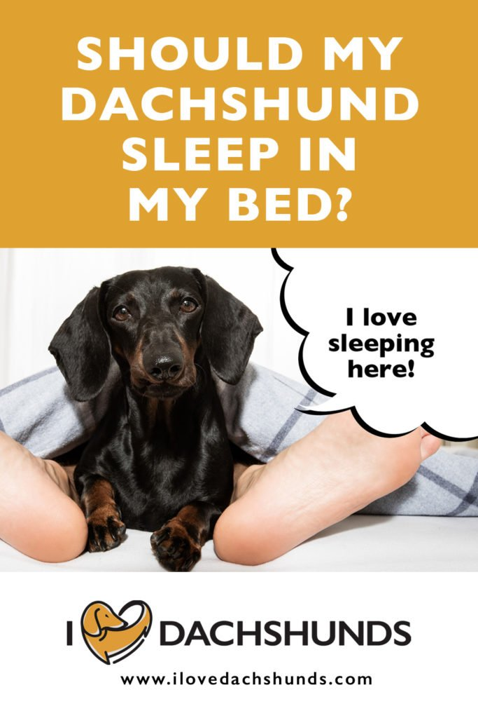 Should I let my Dachshund sleep in my bed
