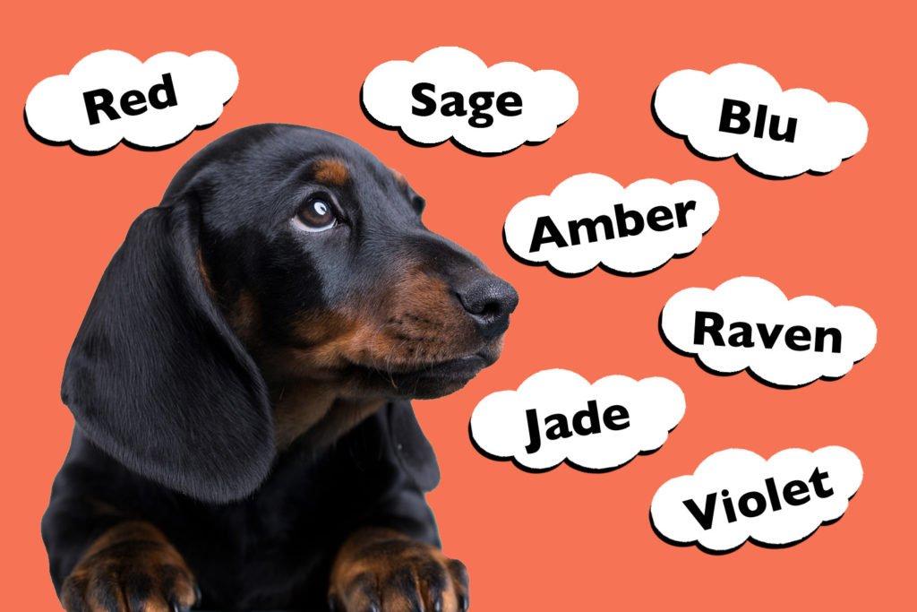 Top Colour Dachshund Names