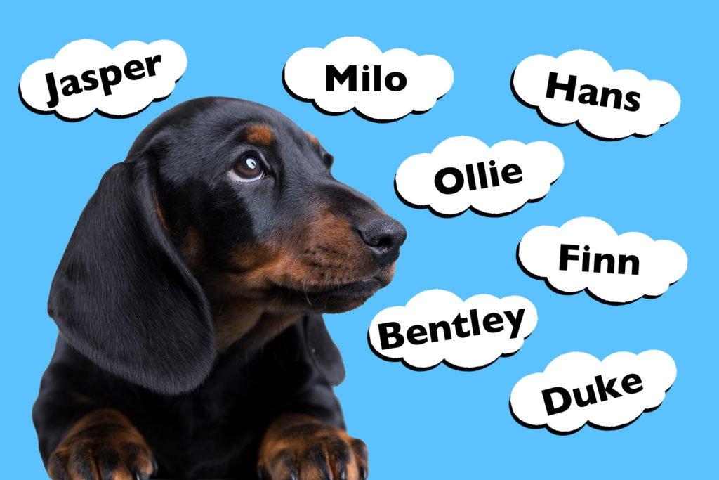 Top Male Dachshund Names
