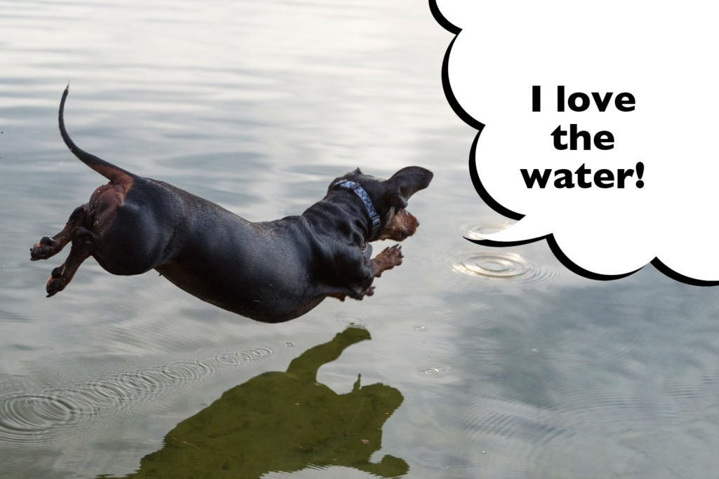 Dachshund enthusiastically jumping into the water to swim