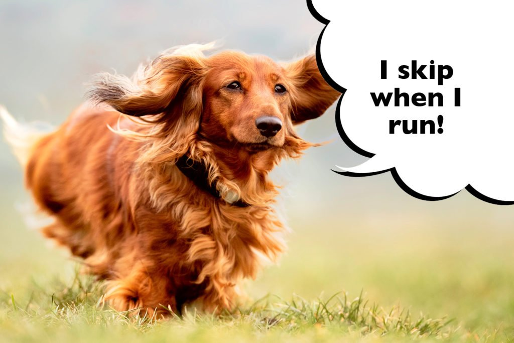 Dachshund skipping on his back leg as he runs
