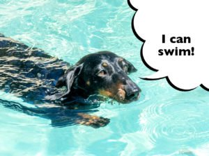 Dachshund swimming in water