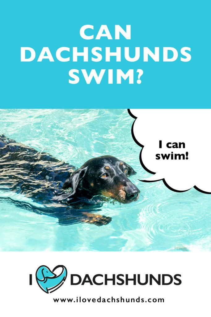 Dachshund swimming in a pool with the words 'can dachshunds swim' written above