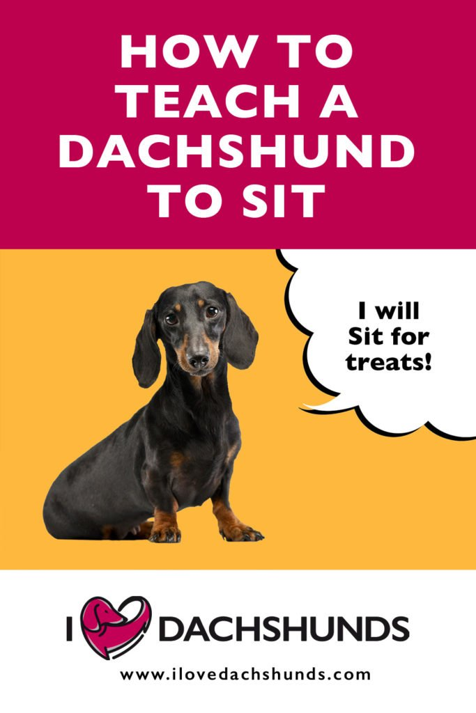 How To teach A Dachshund To Sit text with a Dachshund sitting down