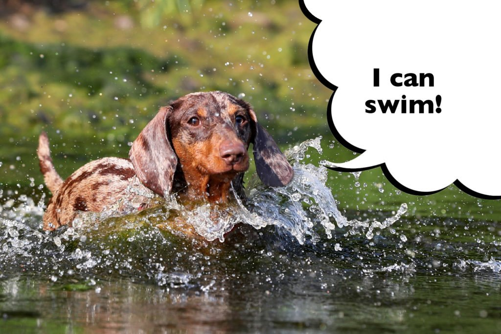 Dachshund swimming along happily in a lake