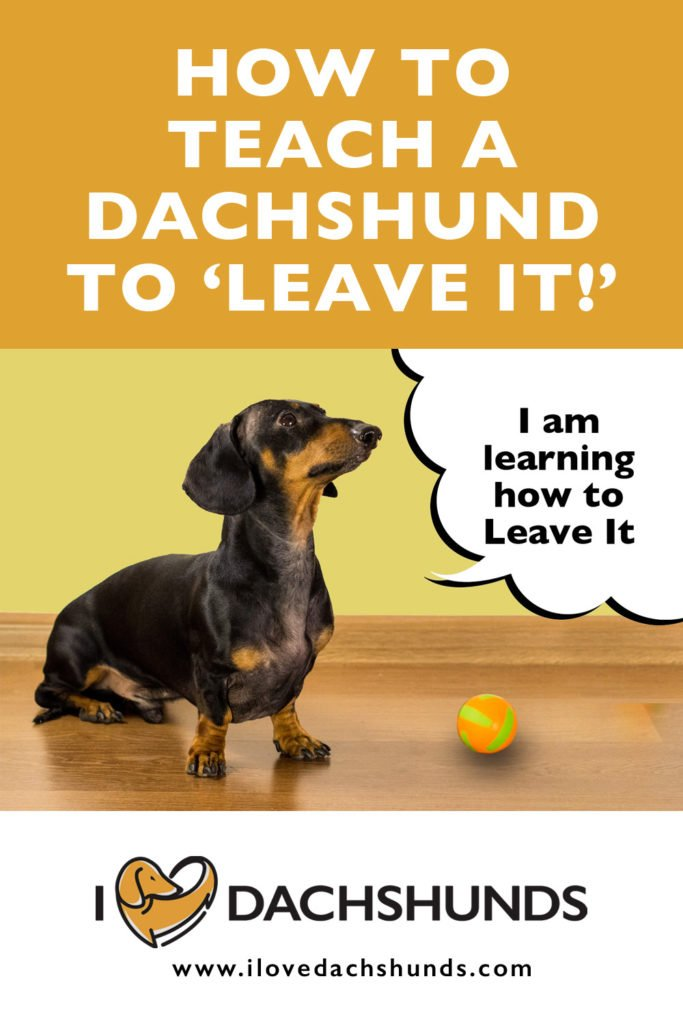 How to teach a Dachshund to leave it text with a Dachshund learning how to leave it