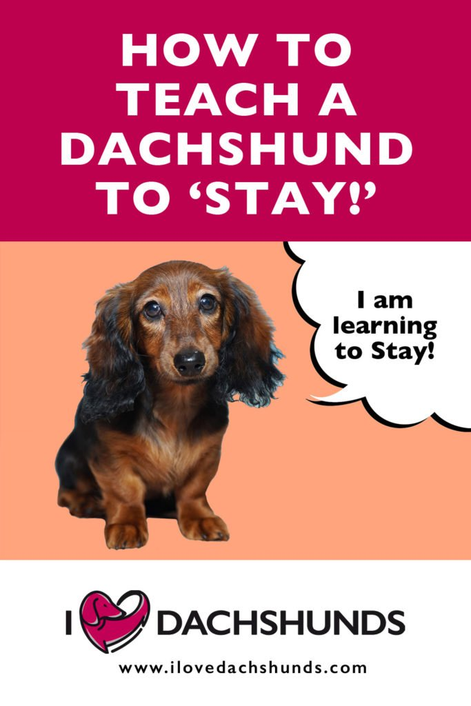 How to teach a dachshund to stay wording with an image of a dachshund sitting and learning to stay