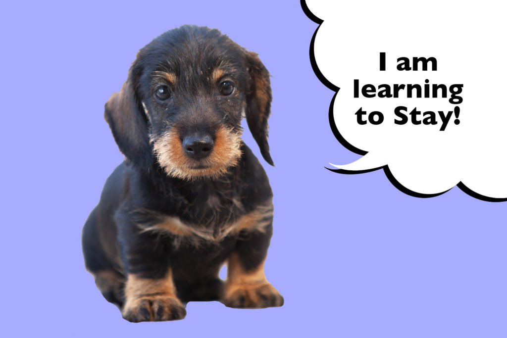 Wire-haired Dachshund puppy sitting and leaning how to stay