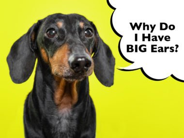 Why do Dachshunds have big ears?