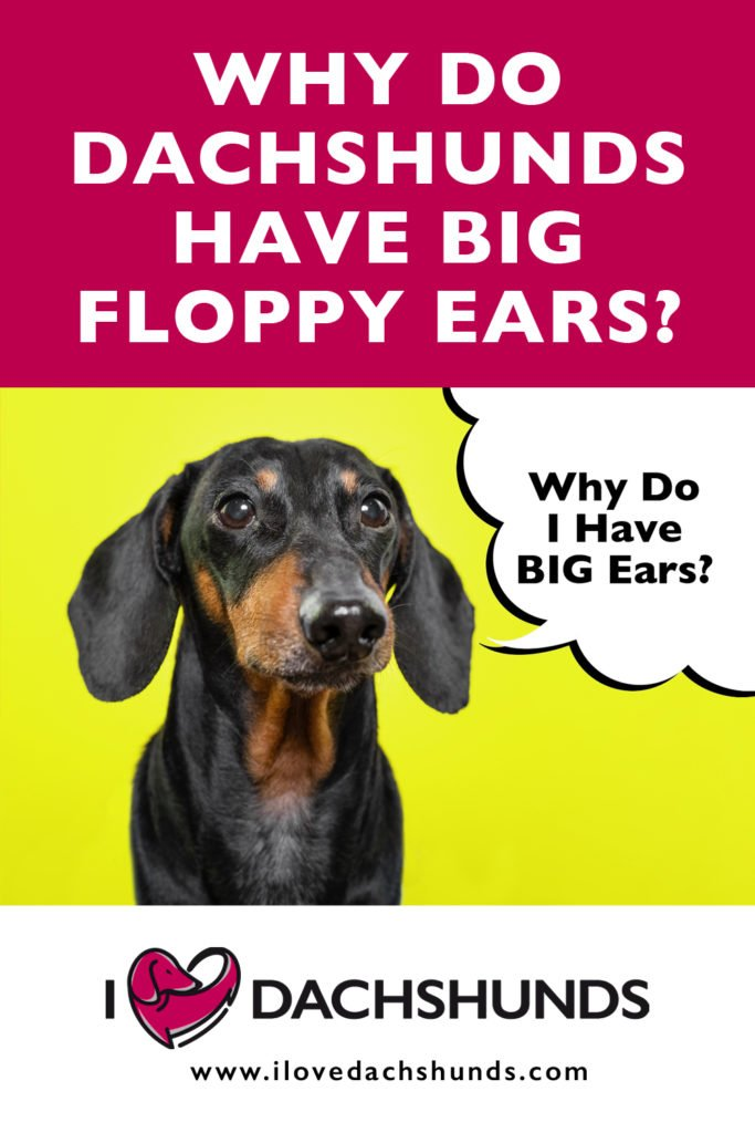 'Why do Dachshunds have big ears' text with a photo of a Dachshund with big ears underneath.