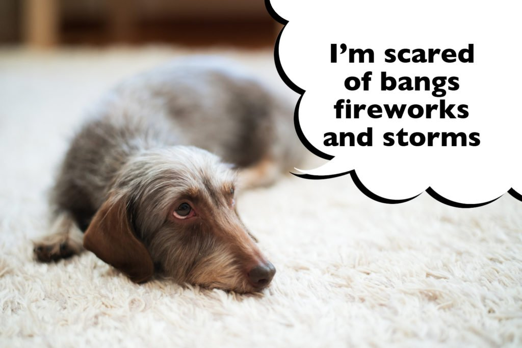 """Dachshund laying on a rug looking scared with a speech bubble that says """"I'm scared of bangs, fireworks and storms""""."""