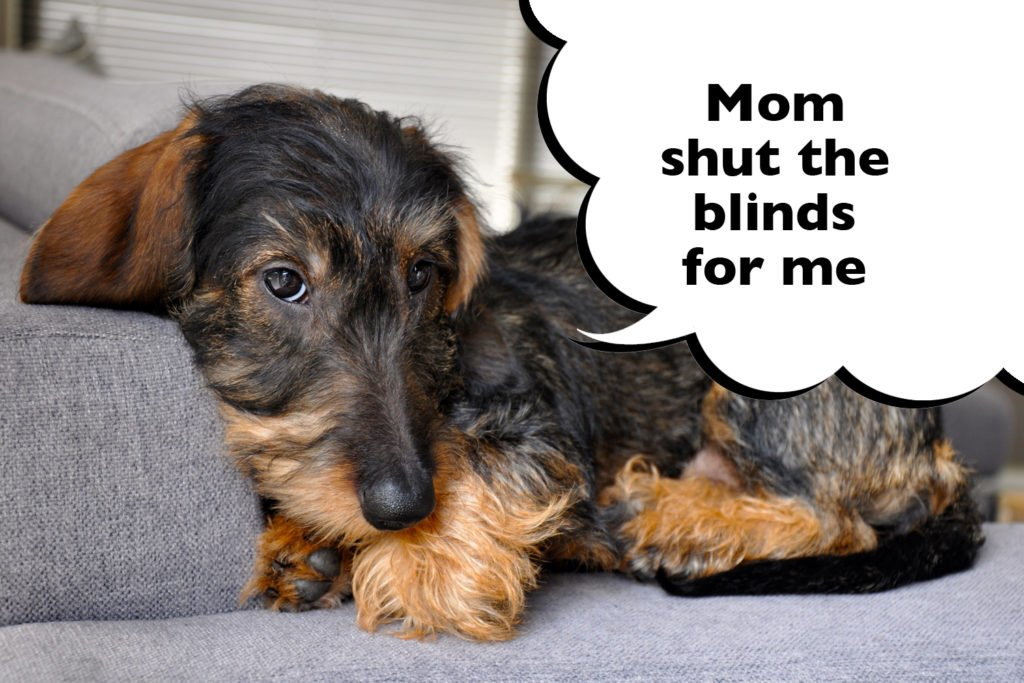 """Dachshund laying on a sofa looking scared with a speech bubble that says """"Mom shut the blinds for me""""."""
